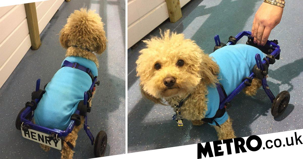 Disabled dog rescued from meat trade now zooms around in a wheelchair at home in the UK