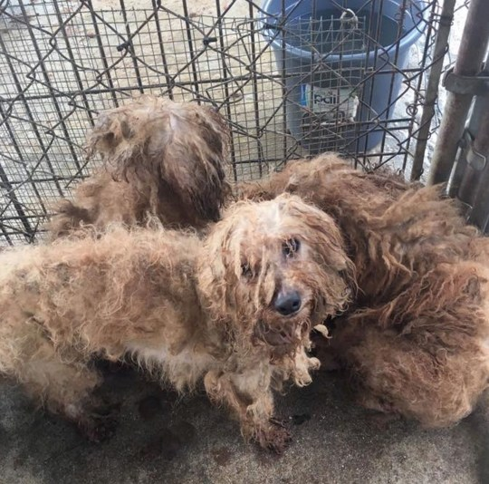 PIC FROM Releash Atlanta/Kennedy News (PICTURED: JORDAN AND HIS SIBLINGS BEFORE THEY WERE CLEANED UP) This is the distressing moment a dog rescued from a puppy mill was filmed sleeping STANDING UP - because he had never learned to lie down for a good night???s sleep. The two-year-old poodle was caught on camera with his head bowed and rocking from side to side next to an unused dog bed by foster mum Melissa Lentz last week. Confused Melissa was concerned the pup named Jordan Knight, in tribute to the New Kids on the Block crooner, was ill but soon realised he was trying to nap. SEE KENNEDY NEWS COPY - 0161 697 4266