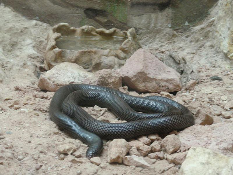 A newly-discovered 'stiletto snake' can strike at you sideways