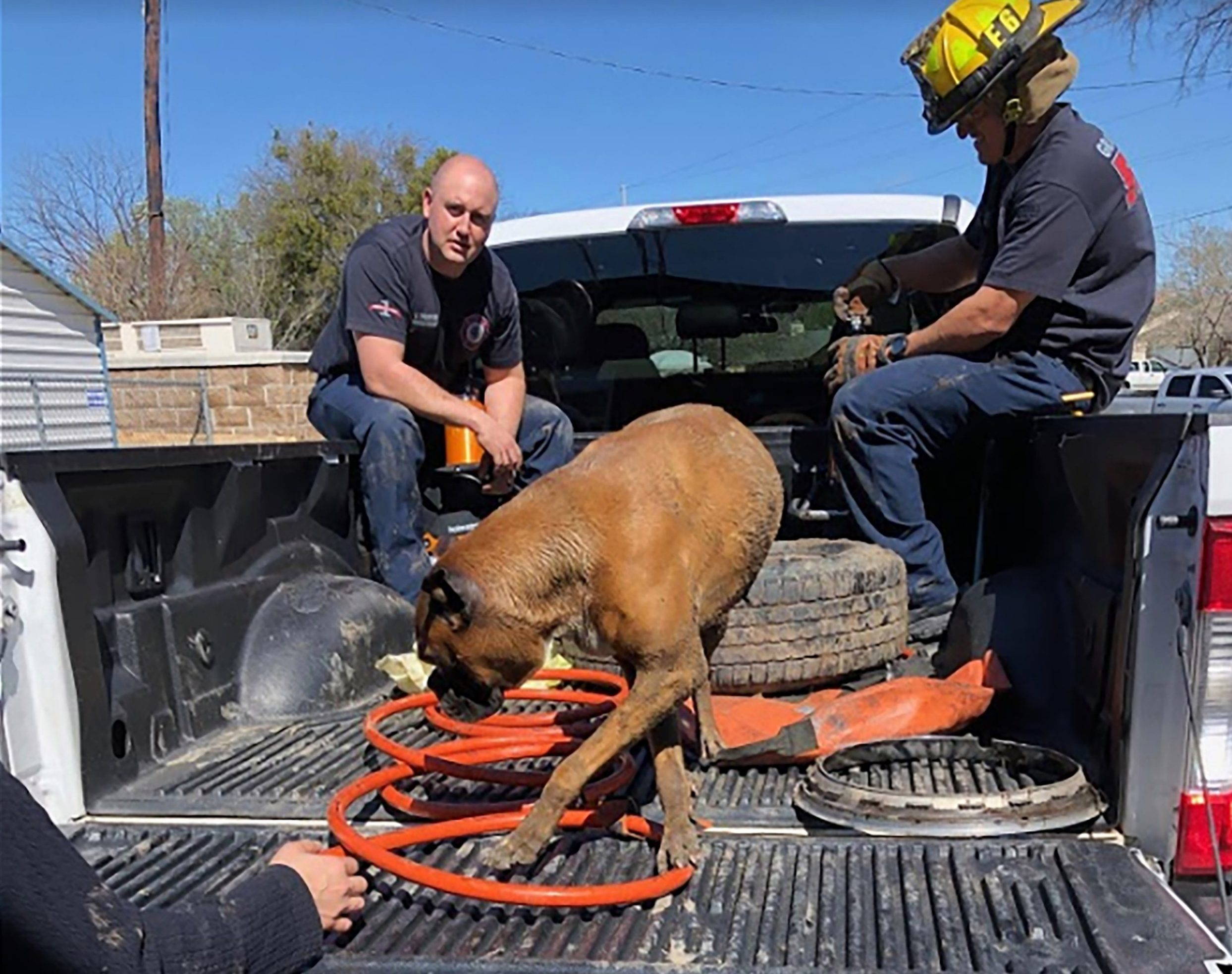 "Firefighters had to rescue this hapless pooch after it got its head stuck in a wheel rim. The owner of the unlucky boxer dog was left stunned when he discovered his curious pet with its head stuck through the metal rim of one of his wheels on Thursday, March 14. However, the quick thinking owner knew exactly what to do. He loaded up the dog, and the wheel, into the back of his truck and rushed over to Fire station 6 in Grand Praire, Texas. It took the firefighters approximately an hour to cut the rim apart enough for the dog to pull herself out. According to the rescuers, it was especially hard to free the animal since the pup had so much extra skin around her neck. The owners, like the dog, were very thankful and relieved. A spokesperson for Grad Praire Fire, said: ""Our buddy was pleased to see Station 6 B-shift come to his rescue! The rim had to be cut apart using a small saw to make room for the dog's head to pull out. He thanked them with plenty of doggy kisses!"". 15 Mar 2019 Pictured: Boxer dog with head stuck in wheel. Photo credit: Grand Prairie Fire / MEGA TheMegaAgency.com +1 888 505 6342"