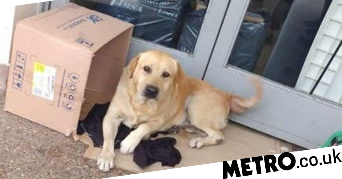 Loyal labrador waits for owner outside hospital not knowing he is dead