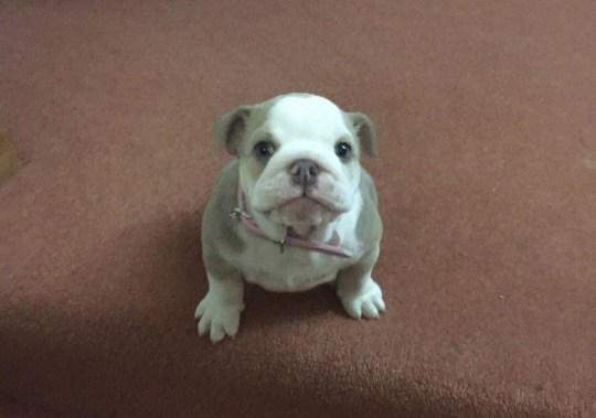 - Picture of British bulldog puppy Wilma TRIANGLE NEWS 0203 176 5581 // contact@trianglenews.co.uk By Helena Kelly A MISSING puppy was found HANGED outside its owner?s house just days after being stolen by sadistic burglars. Mother Gemma Knowles launched an appeal to find her pup Wilma, who was taken during a break-in to her family home. However, the mum-of-three was left heartbroken after discovering the British bulldog?s corpse hanging in her garden two days later, this/yesterday (Thurs) morning.