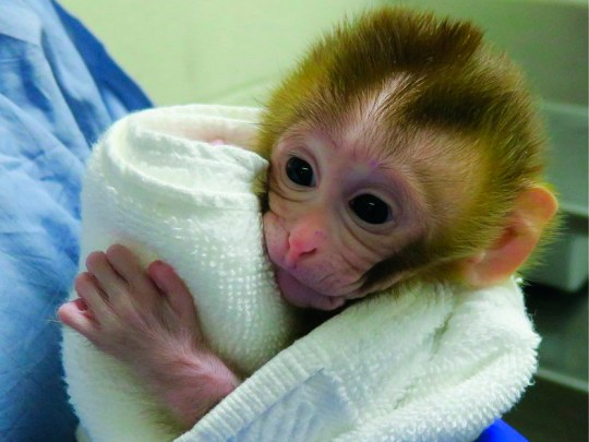 This undated photo provided by the Oregon Health and Science University in March 2019 shows a baby monkey named Grady, at two weeks old, born from an experimental technology that aims to help young boys undergoing cancer treatment preserve their future fertility. Scientists froze testicular tissue from a monkey that had not yet reached puberty, and later thawed it to produce sperm used for Grady???s conception. (OHSU via AP)