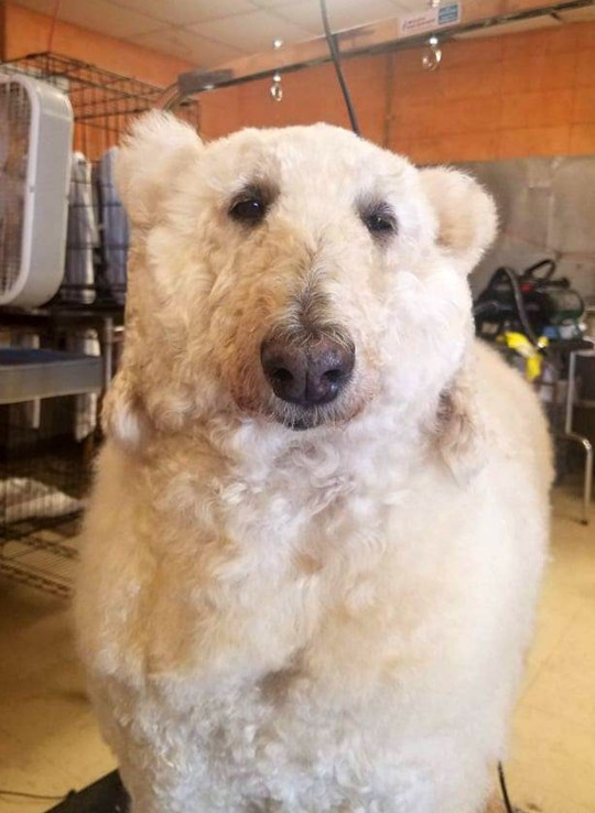 **UPDATED CAPTIONS - AGE CORRECTION** PIC FROM Caters News - (PICTURED: Rachelle Lynn McGinniss dog Bijou as a polar bear ) - An extreme dog groomer has transformed her pooch into a very believable POLAR BEAR. But this isnt the end to owner Rachelle Lynn McGinniss talents she has created a variety of other crazy looks for her poodle, Bijou, including a horse, dragon and even a peacock.The 33-year-old, who owns a dog grooming business called K-9 designs, uses controversial methods such as dying and carving the fur of her pooch to create the inventive styles.SEE CATERS COPY