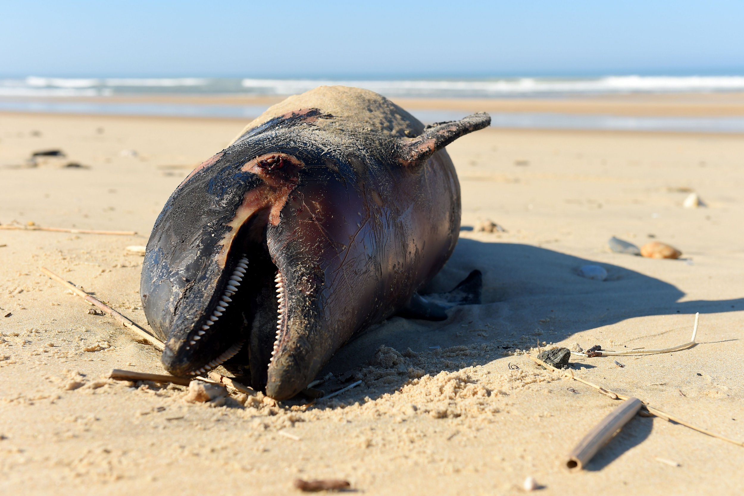 "A dead dolphin lies on a beach of the Atlantic Ocean near Lacanau, southwestern France, on March 22, 2019. - Over 1,100 beached dolphins have been recorded on the French Atlantic coast, mainly in the Vendee, Charente-Maritime and Gironde deprtments, according to the Pelagis Observatory, a marine mammal and seabird research laboratory based in La Rochelle. ""We have dolphins arriving on the coast with marks, we can prove that it's accidental capture but we can not detect what fishing gear has contributed to this."" We need to know exactly what it's happening"", said Willy Dabin of the Pelagis Observatory. (Photo by NICOLAS TUCAT / AFP)NICOLAS TUCAT/AFP/Getty Images"