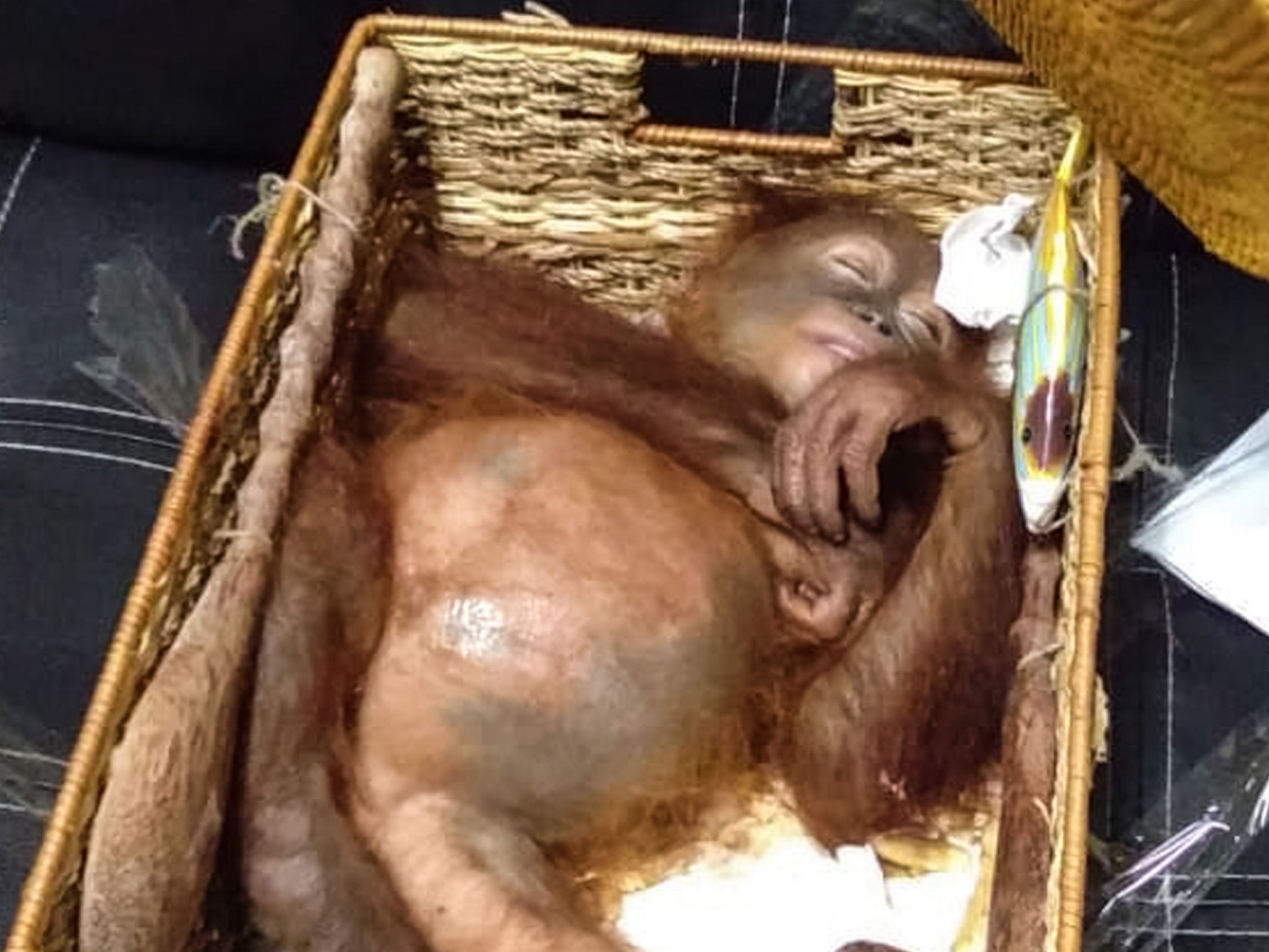 "This handout picture taken and released on March 23, 2019 by the Natural Resources Conservation Agency of Bali shows a rescued two-year-old orangutan resting inside a rattan basket, after a smuggling attempt by a Russian tourist at Bali's international airport in Denpasar. - Indonesian authorities on March 22 arrested a Russian tourist for attempting to smuggle an orangutan out of the country in his suitcase. (Photo by Handout / Natural Resources Conservation Agency of Bali / AFP) / RESTRICTED TO EDITORIAL USE - MANDATORY CREDIT ""AFP PHOTO / NATURAL RESOURCES CONSERVATION AGENCY OF BALI"" - NO MARKETING NO ADVERTISING CAMPAIGNS - DISTRIBUTED AS A SERVICE TO CLIENTSHANDOUT/AFP/Getty Images"