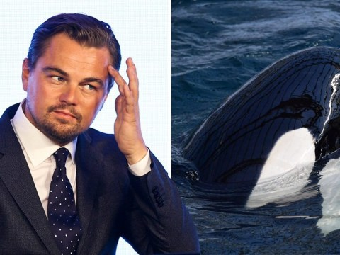 Leonardo DiCaprio shares environmental petition and now Russia is freeing 100 captive whales