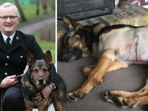 Police dog stabbed in line of duty has law passed in his name