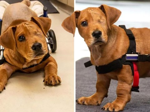 Abandoned dog that lost its hind legs, tail and left eye is given forever home