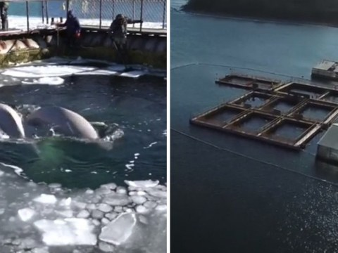 Captive whales will be released from 'prison' but it could take years