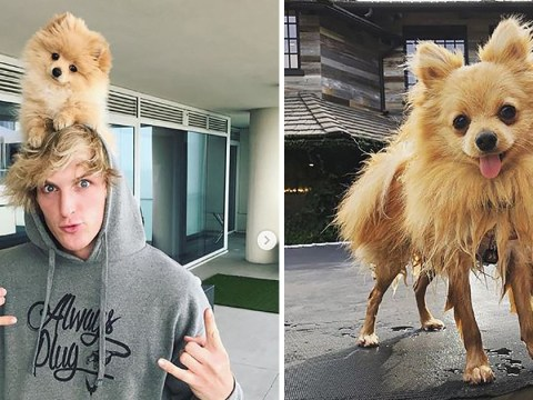 Logan Paul gets tearful over puppy Kong Da Savage being killed by coyotes