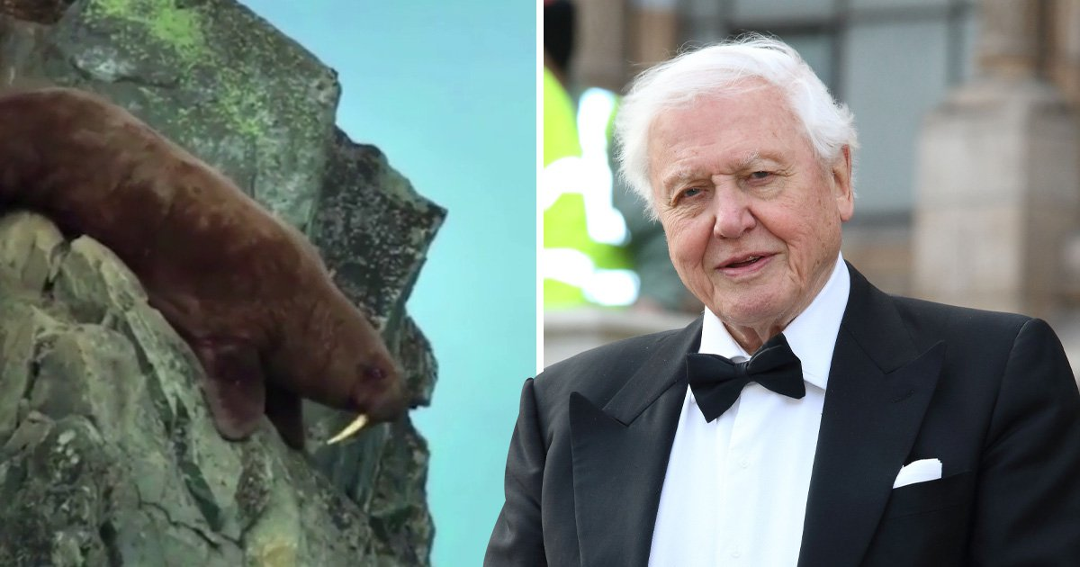 Walruses in Our Planet and Sir David Attenborough