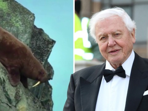 Sir David Attenborough's Our Planet accused of lying about the walrus massacre which shattered Netflix viewers