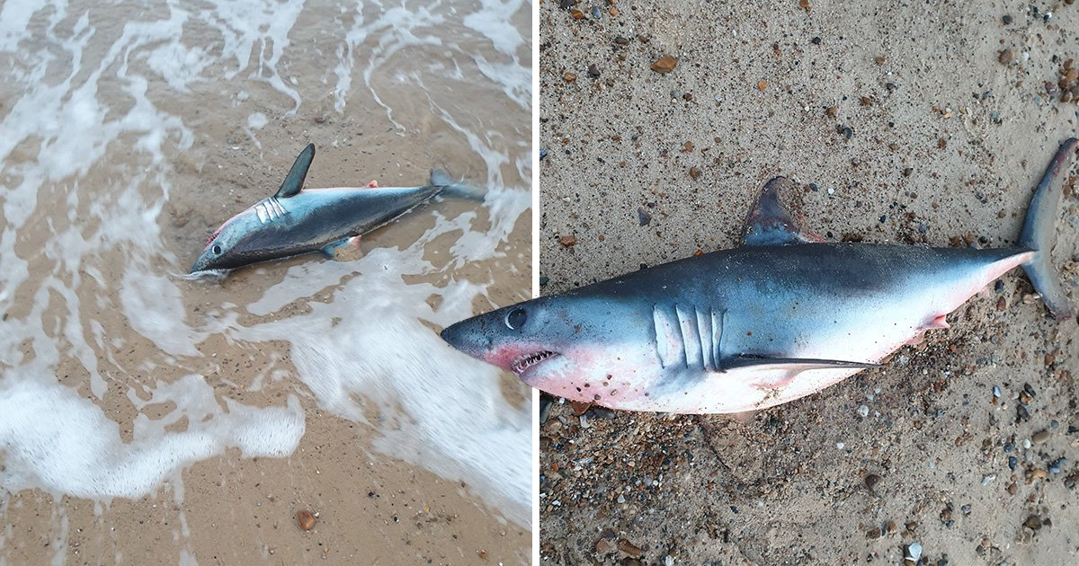 Shark resembling 'miniature version of Jaws' washes up on UK beach