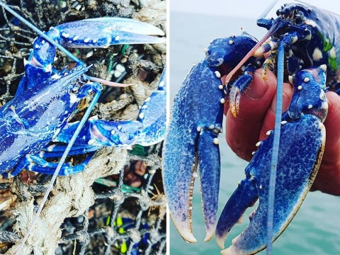 Fisherman 'in awe' after catching blue lobster at one in 2,000,000 odds