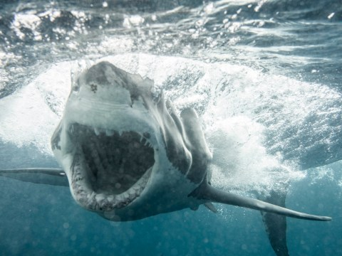 Incredible pictures capture moment great white shark opens jaws at photographer