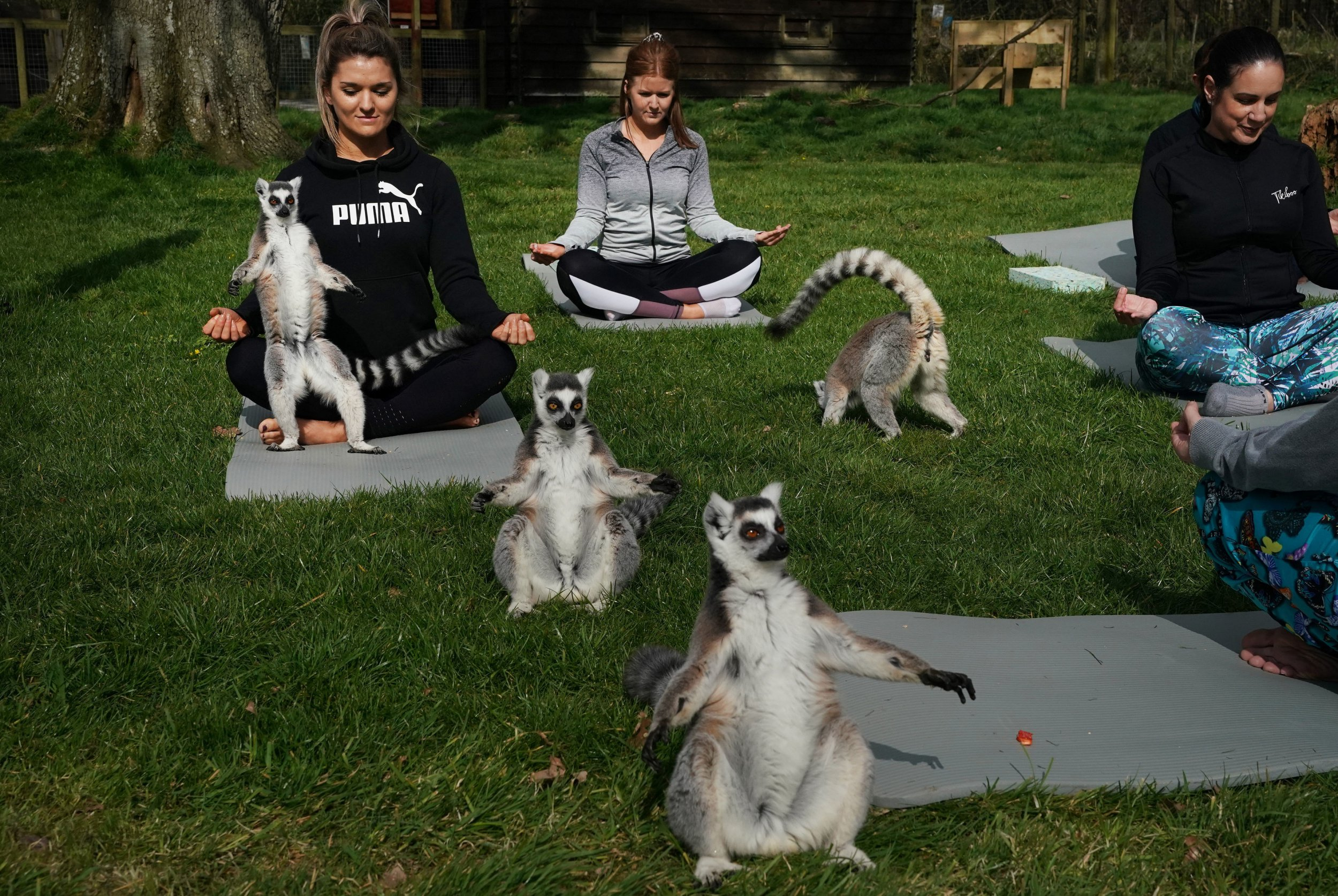 You can now do a yoga class with lemurs