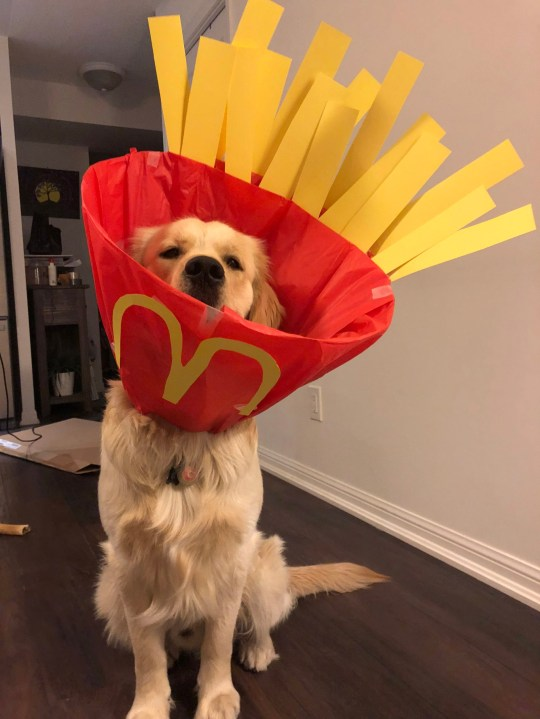 *MANDATORY BYLINE* PIC FROM Kaitlyn Cotter / Caters News - (PICTURED: Gus the 1 year old Golden Retriever, from Canada dressed up as Mcdonalds fries) - An animal turned her adorable poochs cone of shame into hilarious costumes including an astronaut, McDonalds fries and even a basketball net. Kaitlyn Cotter, 30, got creative when her golden retriever Gus was neutered and decided to transform his cone multiple times with other inventive designs including a martini, slushy and scuba driver. The senior analyst, from Toronto, Canada, had her one-year-old canine since he was eight weeks old and has previously dressed him up as a shark for Halloween and a TY Beanie baby. Her hilarious photo gallery shows Gus modelling the eight different costumes, which all encompass his cone as a vital part of the fancy dress. SEE CATERS COPY