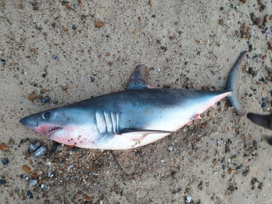 "A two and half foot dead shark washed up on Pakefield beach, in Lowestoft, Suffolk. A dog walker was left stunned after he stumbled across a SHARK washed up on a local British beach. See SWNS story SWCAshark. Sean Hall, 49, was walking his dog Dave along the beach on Friday (12/4) at 7.45pm when he noticed what he thought was a fish lying on the sand. However, once he had a closer look Sean said he realised it was a shark, which was no bigger than three foot, lying on Pakefield beach, in Lowestoft, Suffolk. Sean, from Lowestoft said he ""couldn't believe"" he stumbled across a shark - which had jagged sharp teeth and black bulging eyes."