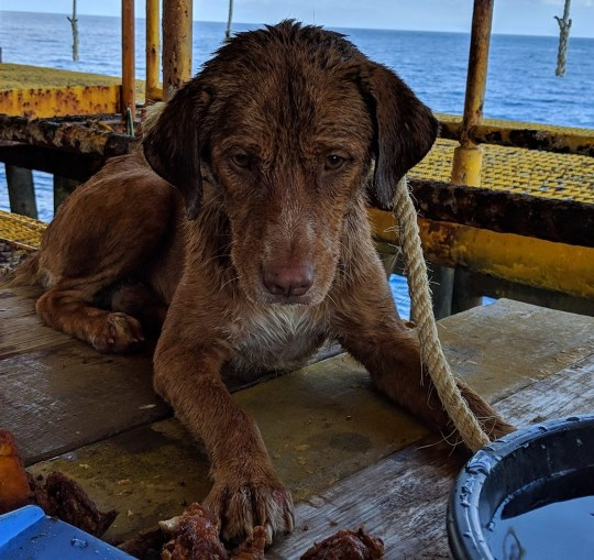 NEWS COPY - WITH VIDEO AND PICTURES This is the heartwarming moment a stranded dog was rescued after being found swimming in the Gulf of Thailand - 220km from the shore. Workers onboard an oil rig noticed the pooch???s head poking out above the ripples as she paddled through the ocean last Friday (12/04) afternoon. They called out to the exhausted mutt and she swam towards them, taking refuge among the rusty metal bars of the rig. Workers then lowered a rope down the brown Aspin dog and pulled her to safety. She stayed onboard the drilling platform for two nights while a special cage was welded together and staff gave her food and water. The dog was finally lifted by crane onto another oil vessel passing through the area yesterday (Sun) which delivered her to vets in Songkhla, southern Thailand, today (Mon). Oil rig worker, Khon Vitisak, who saved the pooch said he does not know how she came to be in the ocean but he would like to adopt her if no owner comes forward.