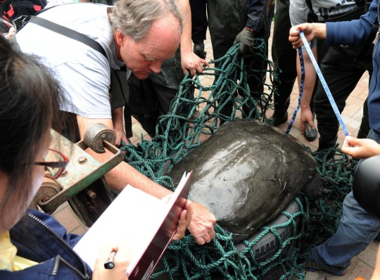 Researchers measure the female Yangtze giant softshell turtle (Rafetus swinhoei) at the Suzhou Zoo in Suzhou in east China's Jiangsu province Wednesday, May. 06, 2015. A female turtle died in an insemination operation April 13, 2019, which left only three of the specie known surviving in the world now.PHOTOGRAPH BY Feature China / Barcroft Images