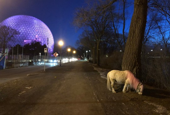 There's a tiny horse with a pink mane running wild on an island near Montreal, nobody knows how it got there and they can't catch it Provider: Facebook/Sauvons le mini-cheval Source: https://www.facebook.com/minirescue/photos/p.416653459125819/416653459125819/?type=1&theater