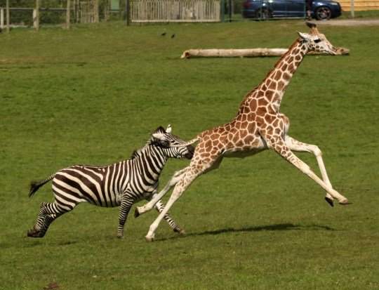 BNPS.co.uk (01202 558833) Pic: IanTurner/BNPS Wacky Races - Giraffe pips Zebra in Longleat run around...by a long neck! A young giraffe and a zebra at Longleat Safari Park engaged in their own version of the wacky races - a clear signal spring is definitely on its way. The pair were spotted making the most of the sunshine as they hurtled around the Wiltshire wildlife attraction?s 60-acre reserve; much to the delight of visitors who witnessed their high jinks. Fifteen month old Rothschild male giraffe, Rudy, and male Grant?s zebra, Iebe, competed in the frantic runabout as the other members of their herds looked on with bemusement. ?It was quite a sight to see them galloping across the reserve,? said keeper Ian Turner, who captured their antics on camera.