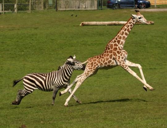Giraf og Zebra Race To See Whos Den hurtigste Metro News-5279