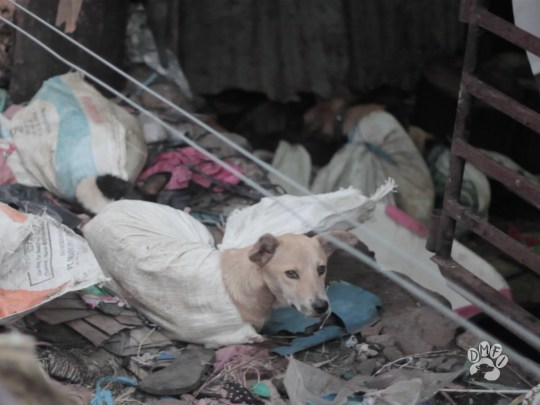 Picture: DMFI Live dogs beaten up for meat