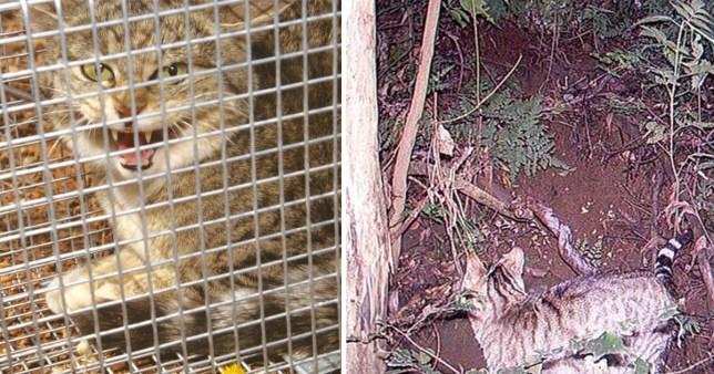 feral cats australia