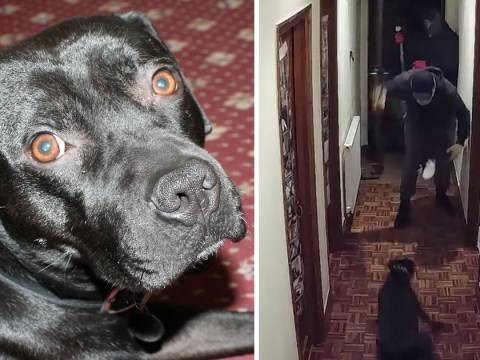 'Hero' dog chased away burglars threatening his owners in their home