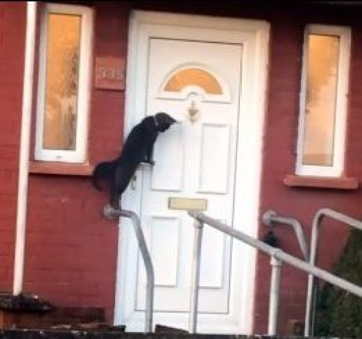 "FROM JOHN JEFFAY AT CASCADE NEWS LTD 0161 660 8087 / 07771 957773 john@cascadenews.co.uk CASCADE NEWS PIC SHOWS CAT ABOUT TO KNOCK ON THE DOOR Could this be Britain's most polite cat? Sheekilah Jones, 24, was stunned when she filmed the black moggy in Cardiff knocking on its owner door to be let in. She said: ""I'm either seeing things because it's 6am or this cat is actually knocking on the door?"" In the video, the cat can been stood up on its hind legs with its front paws on the door handle. It reaches up for the knocker and lifts it several times before patiently waiting for someone to answer the door."