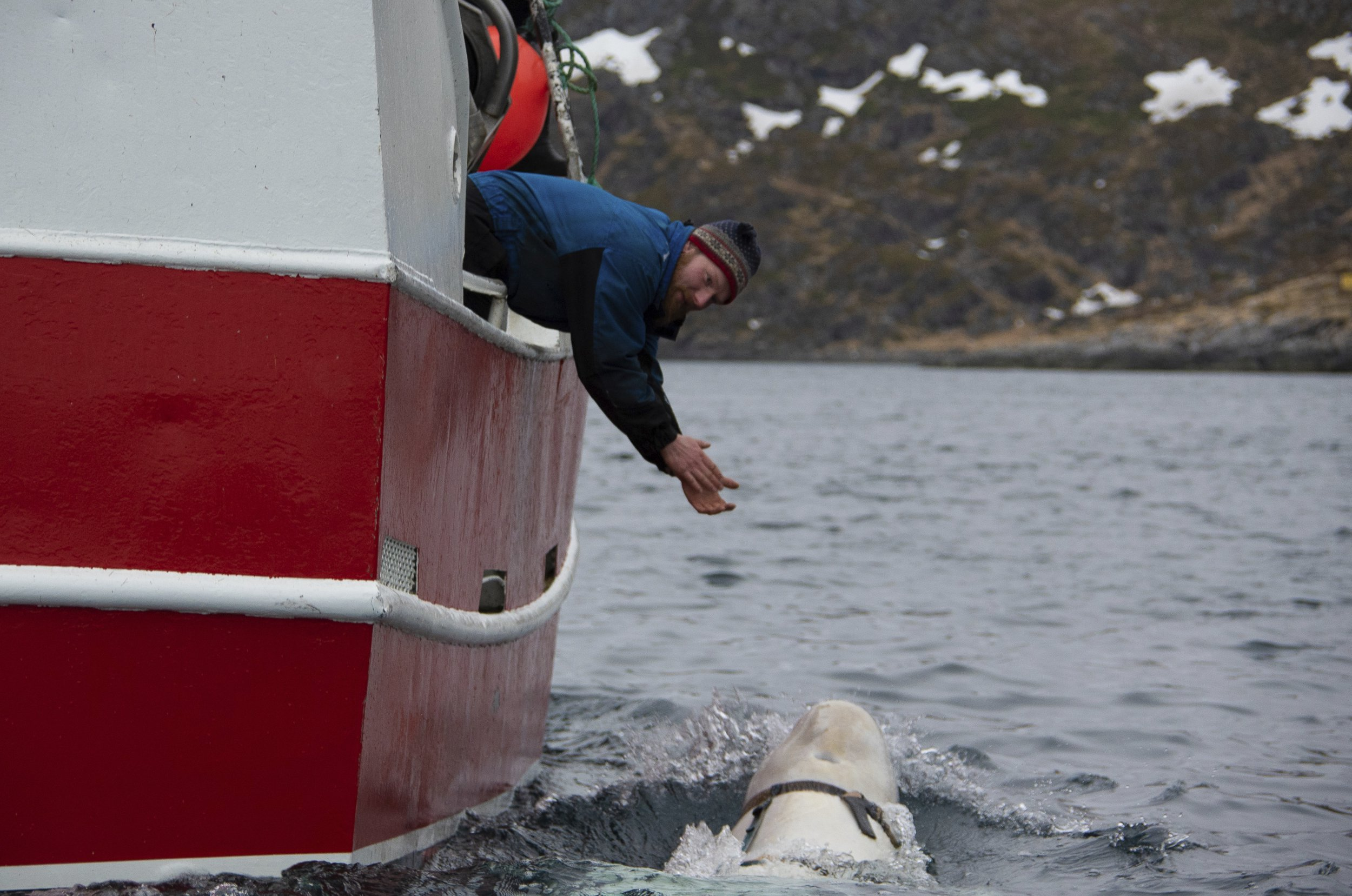 "Norwegian fisherman Joar Hesten tries to attract a beluga whale swimming next to his boat before the Norwegian fishermen were able to removed the tight harness, off the northern Norwegian coast Friday, April 26, 2019. The harness strap which features a mount for an action camera, says ""Equipment St. Petersburg"" which has prompted speculation that the animal may have escaped from a Russian military facility. (Joergen Ree Wiig/Norwegian Direcorate of Fisheries Sea Surveillance Unit via AP)"