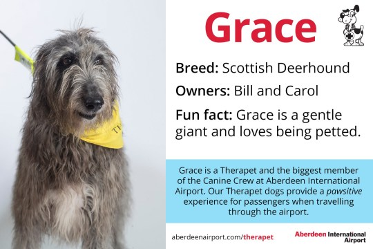 Grace - Scottish Deerhound Therapet dogs programme - the Canine Crew Who are the Canine Crew? Our team of four legged volunteers delight passengers with a friendly wag or furry cuddle. All of our therapy dogs are registered Therapets, part of Canine Concern Scotland Trust. Known to reduce anxiety, therapy dogs can bring smiles and brighten your day. The Canine Crew and their accompanying handlers roam the terminal every week to help you feel welcomed and relaxed. The dogs in bandanas and handlers in blue vests are an excellent addition to the customer service team. Passengers love seeing warm, wet noses and wagging tails that help create a friendly, PAWSitive experience at ABZ! Meet our Canine Crew and see when they are on shift. See one of our Canine Crew in the terminal? Make sure you share your pictures on social media using the hashtag #caninecrewabz, and we'll share the best ones! Meet the Aberdeen Airport Canine Crew Our Therapet Dogs are here to make your airport experience more enjoyable