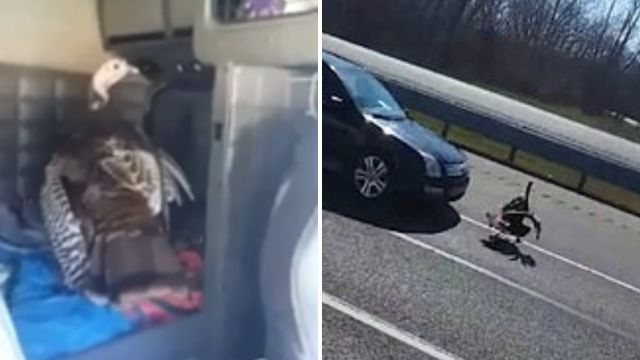 Turkey shooed out of truck only to be struck and killed by car moments later