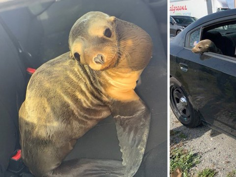 Adorable baby sea lion takes a ride in police car after cops find it in highway