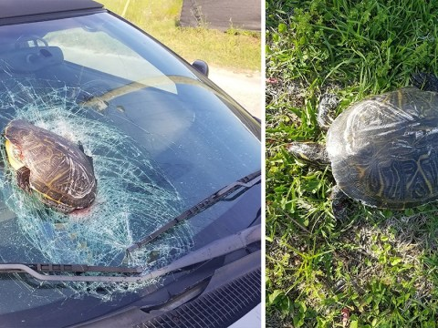 'Flying turtle' smashes into windscreen and showers motorist with glass