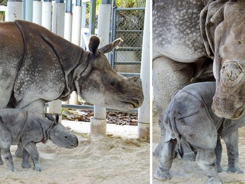 Test tube baby rhino gives hope to its endangered species