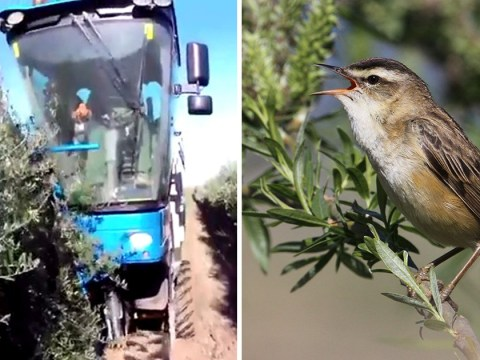 Middle class murder as millions of birds are vacuumed to death in olive picking