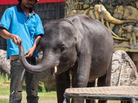 Baby elephant forced to dance for tourists dies after becoming so weak his legs snapped