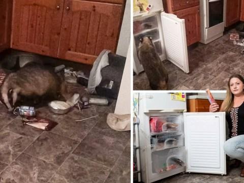 Badger caught on camera raiding ice lollies and mash potato from freezer