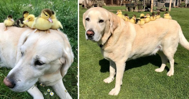 Fred the lab in two photos with his ducklings resting on his body