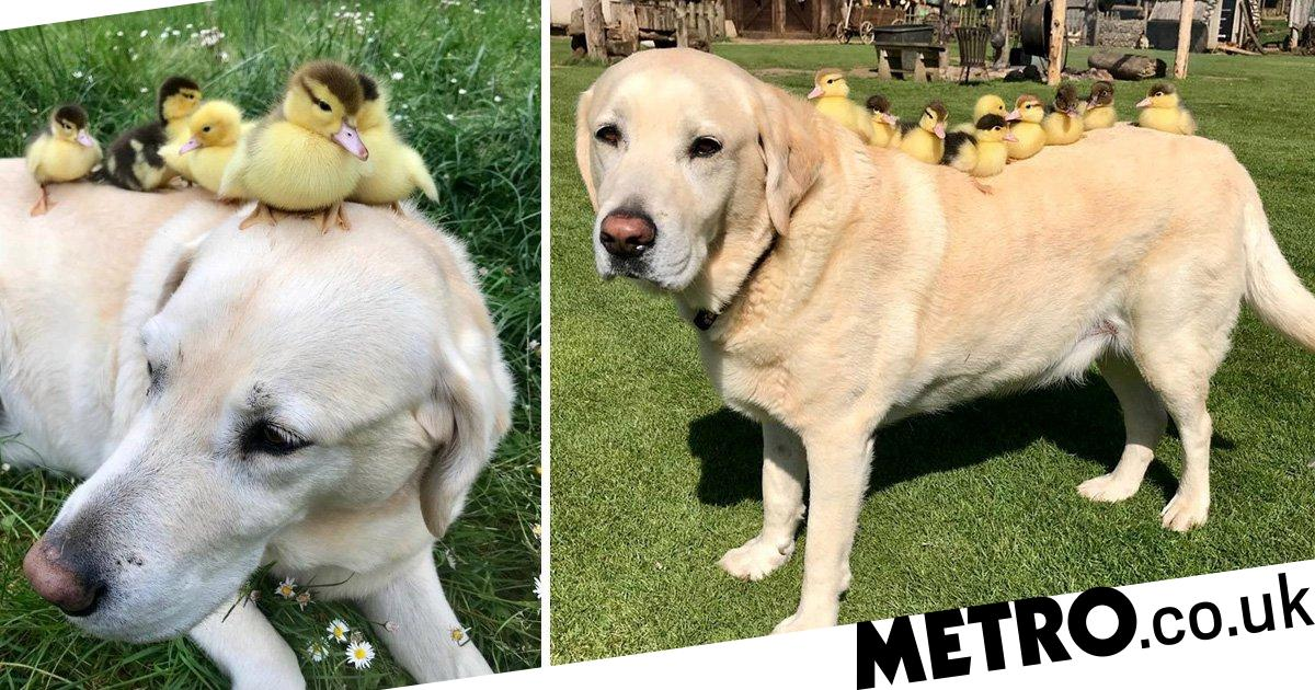 Labrador who took in nine orphaned ducklings adopts six more