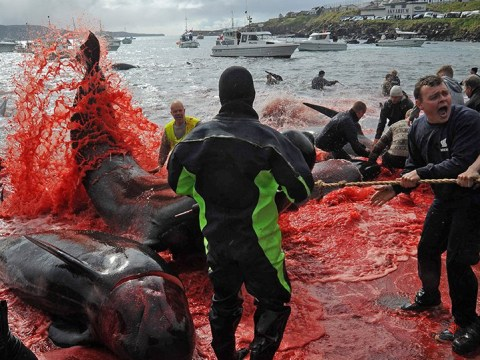 Faroe Islands defend slaughter of whales as sea turns red with blood