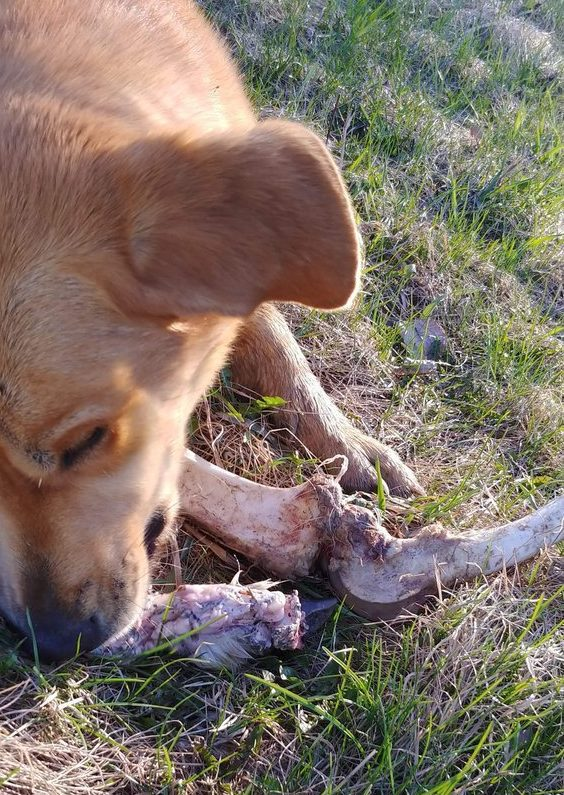 METRO GRAB - taken from Twitter Jesse Neon no permission Bear bribes 'alarm dog' with deer bones to prevent it waking homeowners so it can rummage the bins Picture: JesseNeon