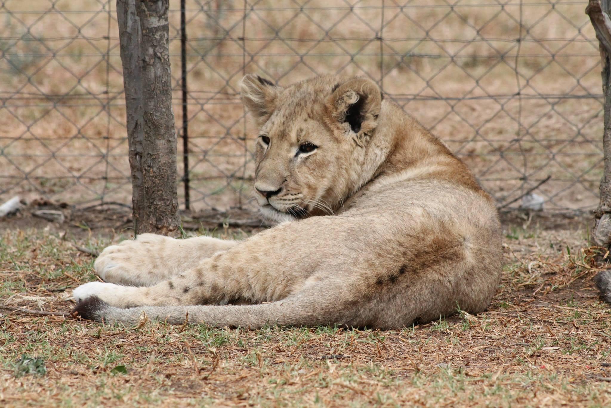 Lions at Weltevrede Lion Farm