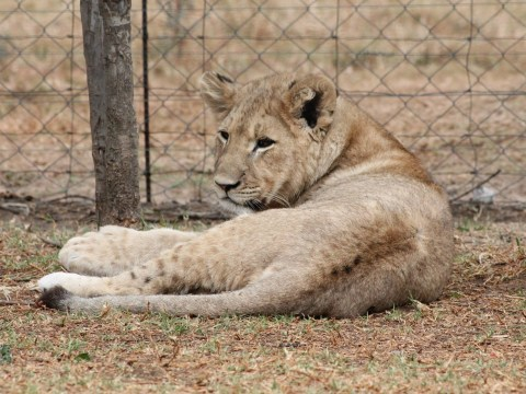 Lioness rips off toddler's scalp after family gets too close to fence