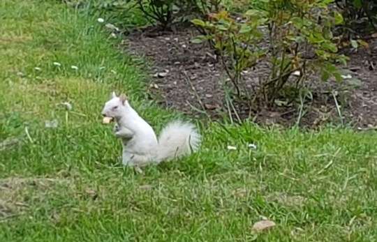 The rare albino squirrel was looking for some lunch