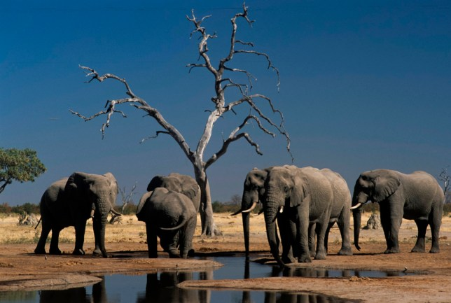 Elephants, Botswana, Africa (Photo by Marka/UIG via Getty Images)