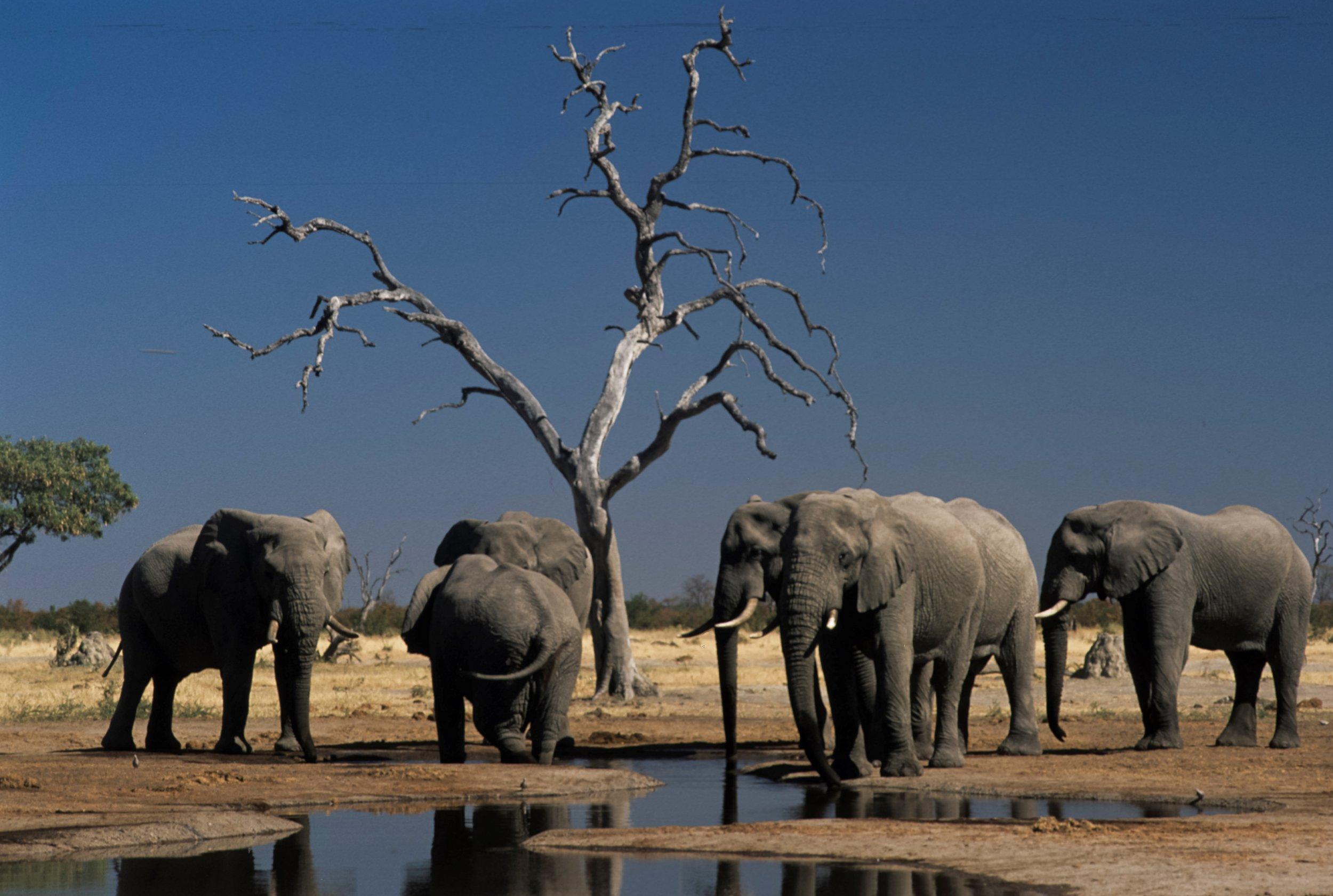 Elephants, Botswana, Africa (Photo by Marka/UIG around Getty Images)